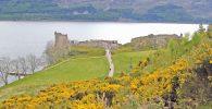 Loch Ness - Ginsterblüte am Urquhart Castle_©Behringer