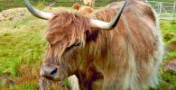 Scottish Highland Cow_©Behringer